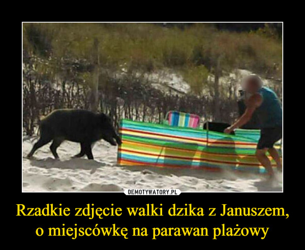 Rzadkie zdjęcie walki dzika z Januszem, o miejscówkę na parawan plażowy –
