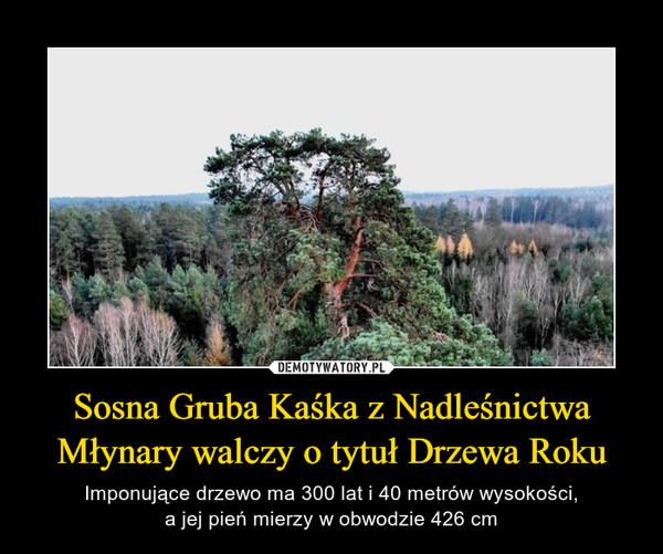 Sosna Gruba Kaśka z Nadleśnictwa Młynary walczy o tytuł Drzewa Roku – Imponujące drzewo ma 300 lat i 40 metrów wysokości,a jej pień mierzy w obwodzie 426 cm
