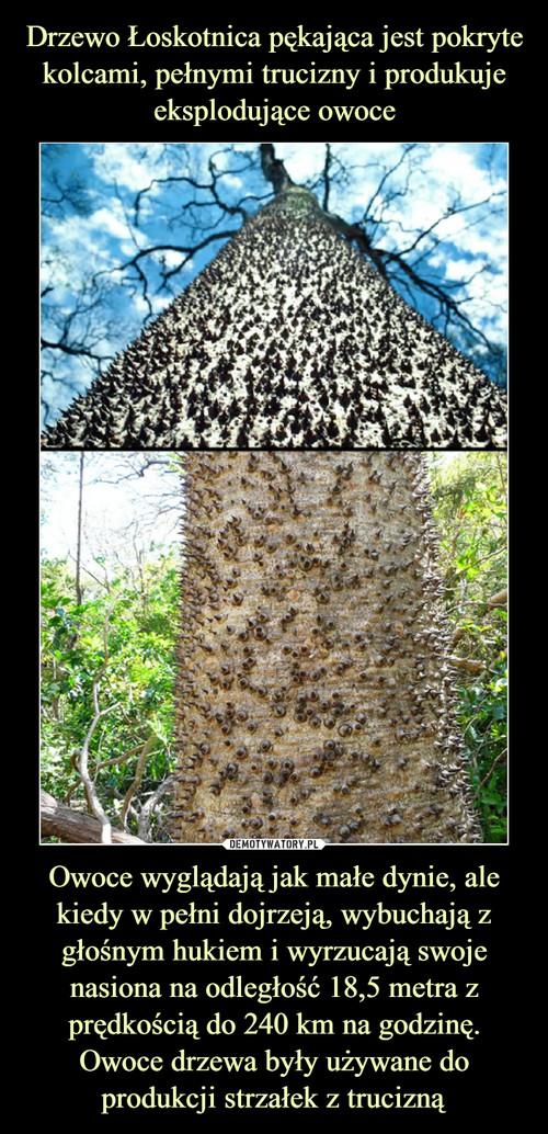 Drzewo Łoskotnica pękająca jest pokryte kolcami, pełnymi trucizny i produkuje eksplodujące owoce Owoce wyglądają jak małe dynie, ale kiedy w pełni dojrzeją, wybuchają z głośnym hukiem i wyrzucają swoje nasiona na odległość 18,5 metra z prędkością do 240 km na godzinę. Owoce drzewa były używane do produkcji strzałek z trucizną