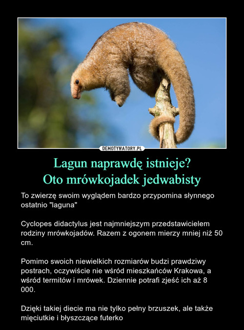 Lagun naprawdę istnieje? Oto mrówkojadek jedwabisty