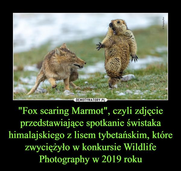 """""""Fox scaring Marmot"""", czyli zdjęcie przedstawiające spotkanie świstaka himalajskiego z lisem tybetańskim, które zwyciężyło w konkursie Wildlife Photography w 2019 roku –"""