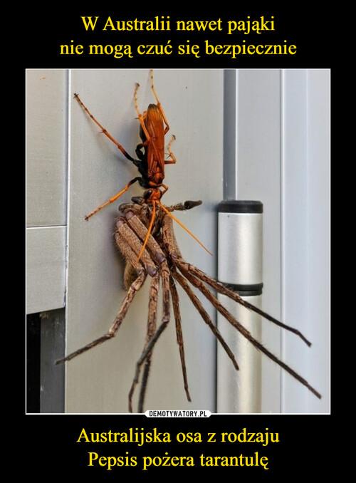 W Australii nawet pająki nie mogą czuć się bezpiecznie Australijska osa z rodzaju Pepsis pożera tarantulę