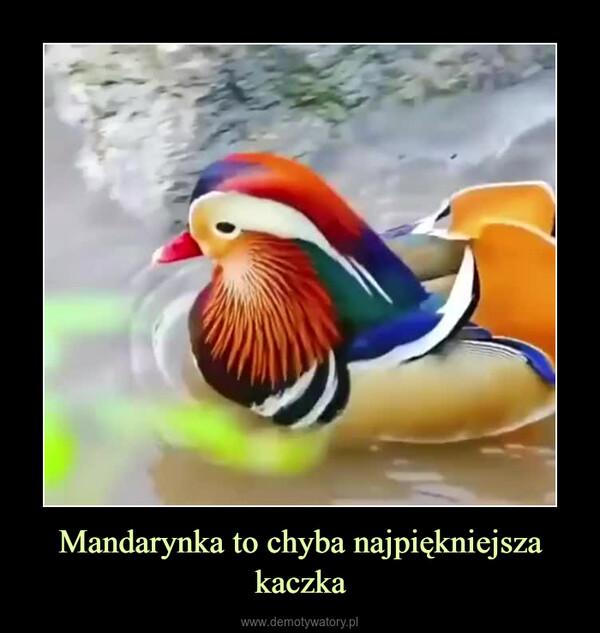 Mandarynka to chyba najpiękniejsza kaczka –