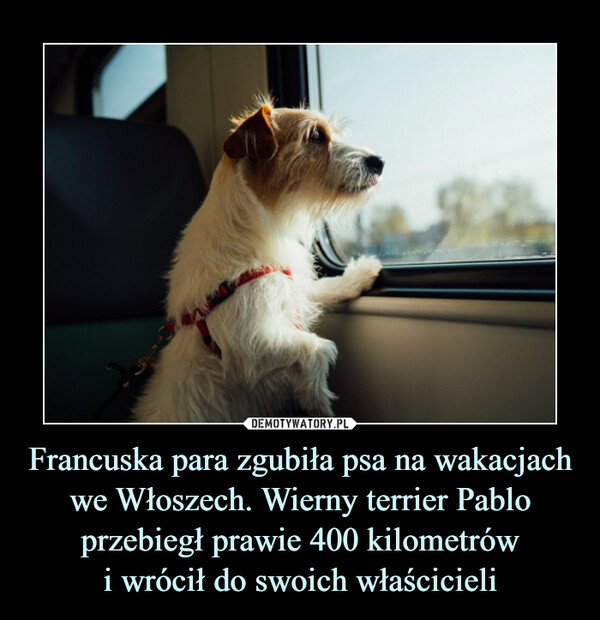 Francuska para zgubiła psa na wakacjach we Włoszech. Wierny terrier Pablo przebiegł prawie 400 kilometrówi wrócił do swoich właścicieli –