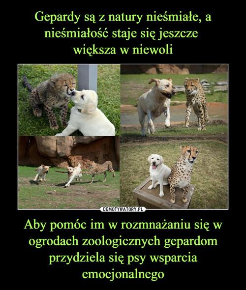 Gepardy są z natury nieśmiałe, a nieśmiałość staje się jeszcze  większa w niewoli Aby pomóc im w rozmnażaniu się w ogrodach zoologicznych gepardom przydziela się psy wsparcia emocjonalnego