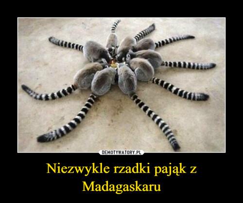 Niezwykle rzadki pająk z Madagaskaru