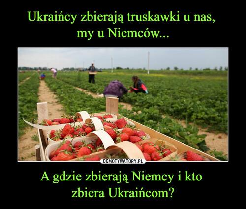 Ukraińcy zbierają truskawki u nas,  my u Niemców... A gdzie zbierają Niemcy i kto  zbiera Ukraińcom?