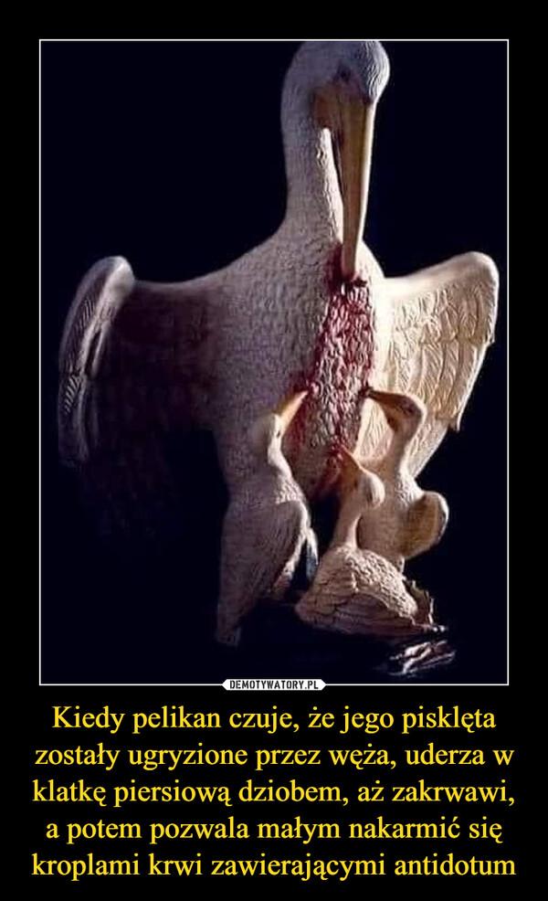 Kiedy pelikan czuje, że jego pisklęta zostały ugryzione przez węża, uderza w klatkę piersiową dziobem, aż zakrwawi, a potem pozwala małym nakarmić się kroplami krwi zawierającymi antidotum